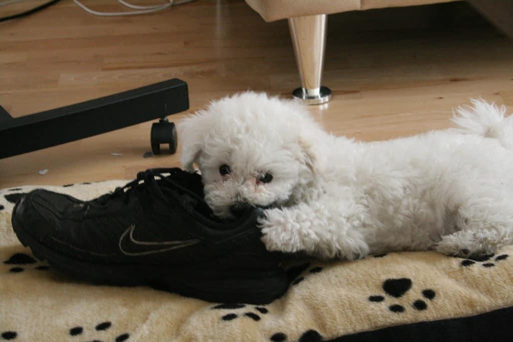 training-dog-chew-destructive-shoe