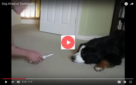 dog afraid toothbrush brush your pet's teeth